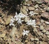 Gethyllis lanceolata Apodolirion lanceolatum