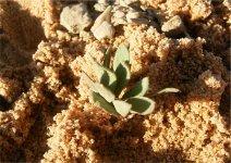Eriospermum alcicorne