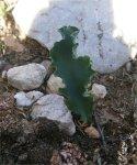 Eriospermum cripum