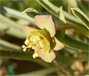 Euphorbia multifolia