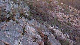 Haworthia elizeae
