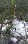 Haworthia graminifolia