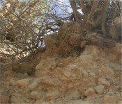 Haworthia lanosa
