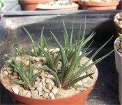 Haworthia wittebergensis