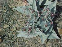 Ornithoglossum parviflorum