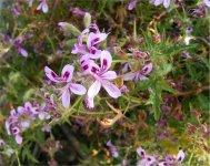 Pelargonium citronellum