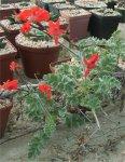 Pelargonium fulgidum