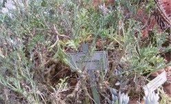 Pelargonium laxum