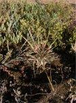 Pelargonium rapaceum