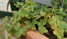 Pelargonium tongaensis