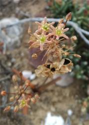 Austronea linearis - South of Oudtshoorn