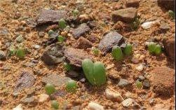 Bulbine-succulenta-S-of-Laingsburg-3