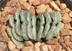 Haworthia truncata Brillant