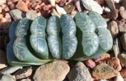 Haworthia-truncata-angelica